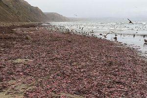Hàng nghìn con giun thìa xuất hiện trên bãi biển California