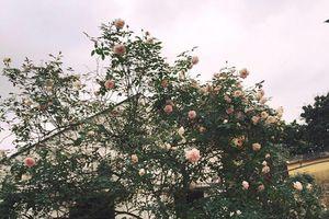 Nhà giàu Việt chơi sang, chi đến cả trăm triệu mua hoa hồng cổ trưng Tết