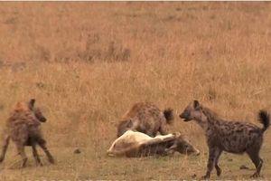 CLIP: Đàn linh cẩu đoạt mạng bò nhà