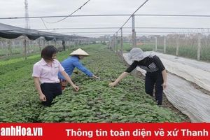 Huyện Thiệu Hóa chú trọng phát triển vùng chuyên canh sản xuất nông nghiệp