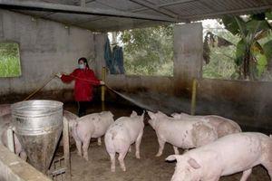 Tin miền Trung: Đảm bảo nguồn cung thịt lợn