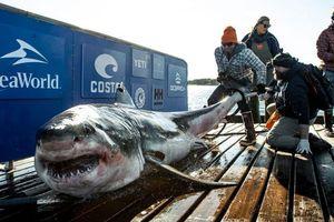 Cá mập trắng khổng lồ bơi 2.370 km từ bờ biển Canada sang Mỹ