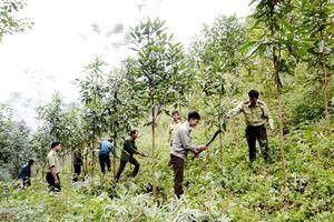 Lào Cai hỗ trợ trồng rừng sau đầu tư