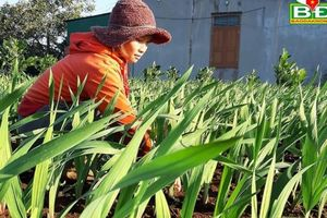 Tin NN Tây Nguyên: Đắk Mil vào vụ hoa Tết 2020