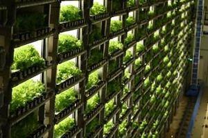 Trồng rau bằng ánh sáng nhân tạo ở Nhật Bản
