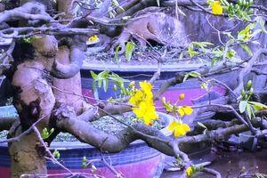 Ngắm những gốc mai Huế 'kỳ quái, độc lạ' vội nở hoa, lỗi hẹn Tết