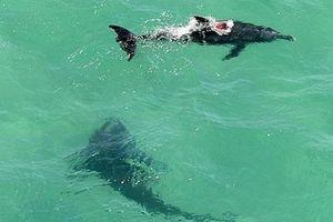 'Sát thủ đại dương' cắn toang hoác chú cá heo ngay trước mắt du khách