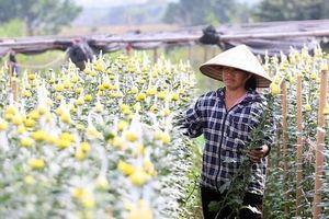 Vựa hoa lớn nhất Hà Nội 'nín thở' chờ Tết