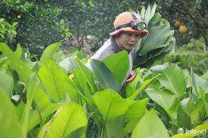 Làng lá dong lớn nhất Hà Nội thu hoạch vụ chính trong năm, phục vụ Tết Âm lịch