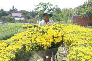 Làng hoa lớn nhất Cần Thơ hối hả ngày giáp Tết