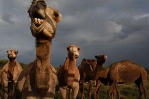 10.000 con lạc đà bị 'xử lý' vì... hạn hán