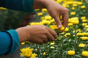 Làng hoa ở Đà Nẵng được mùa, được giá