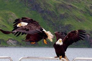 Đến Alaska, tìm về thị trấn của những con đại bàng trộm đồ