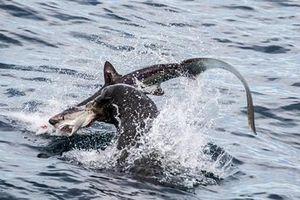 Sư tử biển xé xác cá mập xơi tái giữa biển