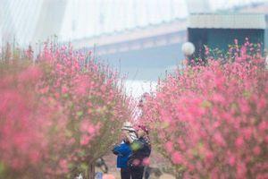 Đào Nhật Tân nở rộ trước Tết: Hoa cười, người khóc