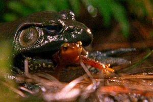 CLIP: Cận cảnh sa giông sống sót bò ra từ bụng ếch sau khi bị nuốt trọn