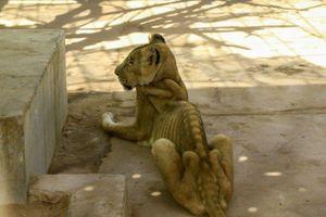 Chiến dịch kêu gọi giải cứu 5 con sư tử suy dinh dưỡng ở Sudan