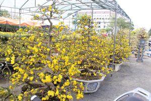 Đà Nẵng: Hoa mai thi nhau 'cười', người bán mếu