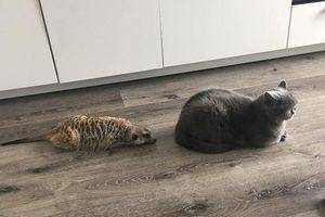Tình bạn tuyệt đẹp giữa mèo và chồn đất khiến mọi trái tim tan chảy