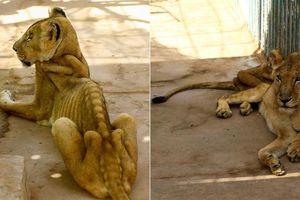 Sư tử da bọc xương chết trong công viên Sudan