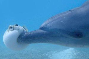 Bất ngờ cách cá heo lợi dụng cá nóc độc 'phê bóng cười'