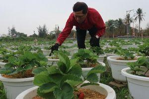 Bắt dâu tây kết trái trên vùng gió Lào