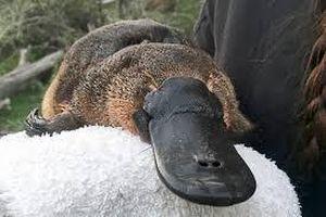 Cảnh báo thú mỏ vịt có thể tuyệt chủng ở Úc