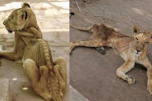Xót xa hình ảnh 'chúa sơn lâm' sư tử chỉ còn da bọc xương, đờ đẫn di chuyển trong vườn thú ở Châu Phi