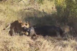 Bị sư tử giằng xé nhiều giờ, trâu rừng tung đòn thoát chết ngoạn mục