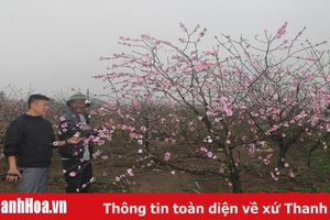 'Thủ phủ' đào phai hoa kép Quảng Chính những ngày giáp tết