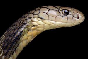 Virus Vũ Hán có thể đã lây từ rắn sang người?