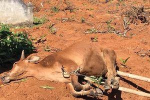 Quảng Ngãi: Hàng loạt bò chết vì lở mồm long móng