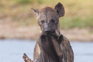 Linh cẩu mò vớt thịt voi làm mồi: Sự thật bất ngờ