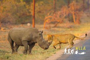 Cuộc chạm trán ly kỳ giữa 20 linh cẩu, 3 sư tử và 1 tê giác