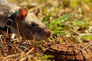 Sự thực bất ngờ về chuột khổng lồ chuyên dò mìn cực giỏi
