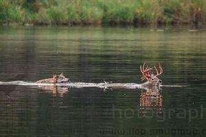 Lao xuống hồ săn nai, sói đơn độc nhận kết hụt hẫng