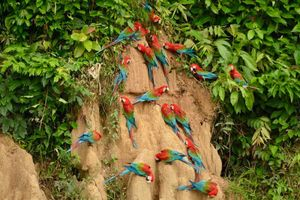 Loài vẹt đuôi dài tuyệt đẹp, chuyên ăn đất sét giữ gìn nhan sắc