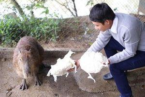 Loài chuột khổng lồ to nhất thế giới xuất hiện ở Hà Nội