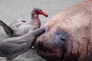 'Dị' loài chim khổng lồ hung bạo khiến con người cũng phải ghê