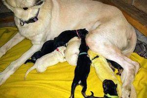Chuyện lạ: Chó con sinh ra có màu lông vàng chanh hiếm gặp