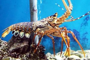 Xuất khẩu tôm của Australia chịu thiệt hại do virus Corona