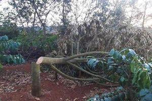 Một gia đình bị chặt hạ hàng trăm cây sầu riêng, cà phê trong ngày Tết