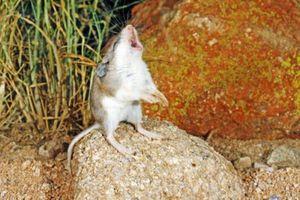 'Sốc' loài chuột hú như sói, làm thịt cả bọ cạp và rết cực độc