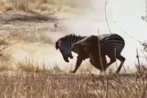 Sư tử bị ngựa vằn phản đòn, kéo lê thảm hại sau màn phục kích
