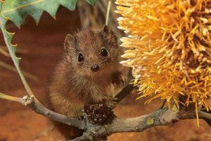 1001 thắc mắc: Loài chuột nào làm 'chuyện ấy' lâu đến chết vì kiệt sức?