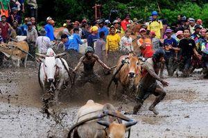 Cuộc đua bò truyền thống ở Indonesia