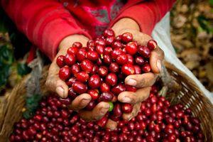 Giá cà phê hôm nay 29/1: Giảm nhẹ 100 đồng sau đà tăng ngắn ngủi