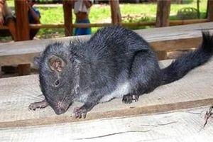 Phát hiện chấn động: Chuột tuyệt chủng 11 triệu năm trước xuất hiện ở rừng Trường Sơn