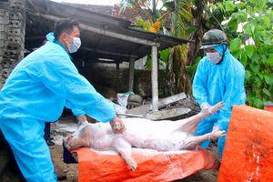 Nghệ An: Tái bùng phát dịch tả lợn châu Phi tại 3 huyện
