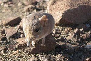 'Giật mình' trước loài chuột có họ hàng với voi châu Phi